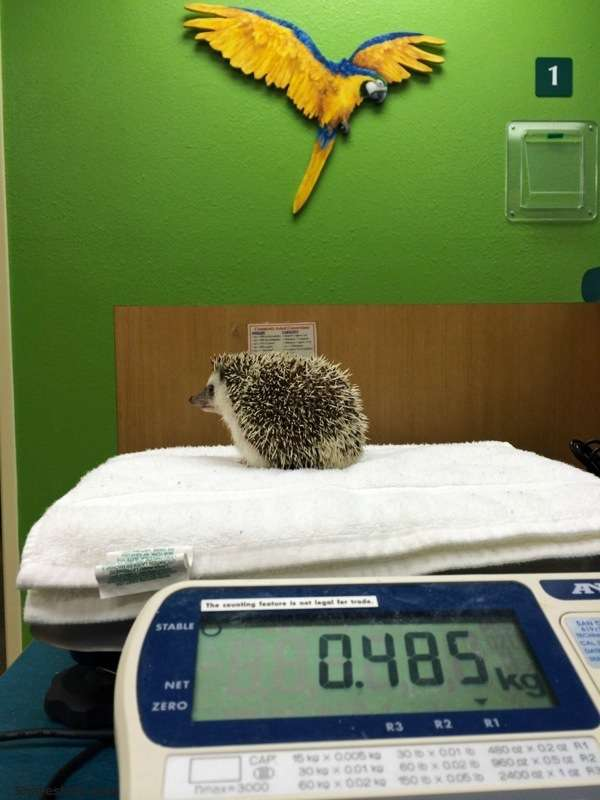 Hedgehog-Anesthesia-1