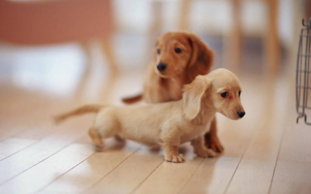 Cute-puppies-hd-pictures-and-wallpapers-1228x768_mini