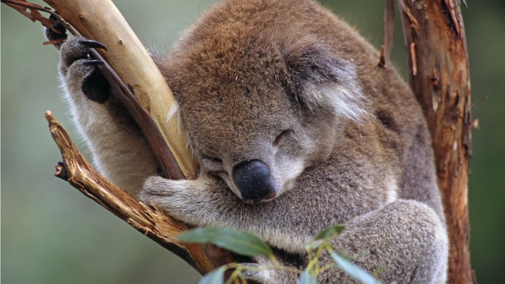 sleepy-koala-1366x768_mini