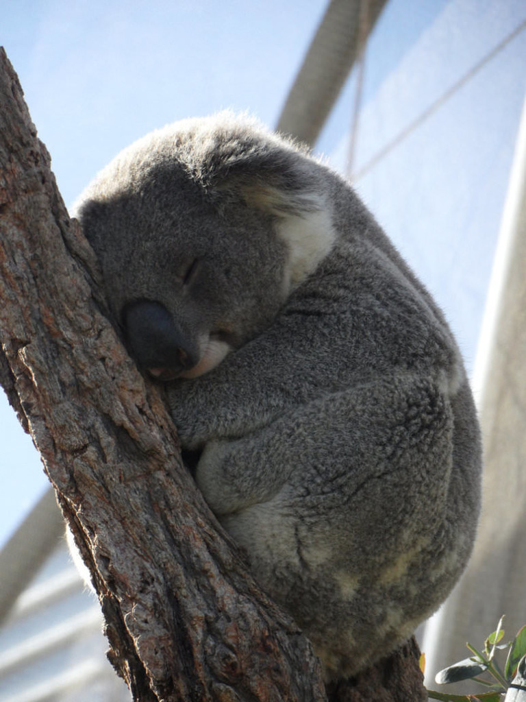sleepy_koala_by_iheartuknowhoo-d4128uv_mini