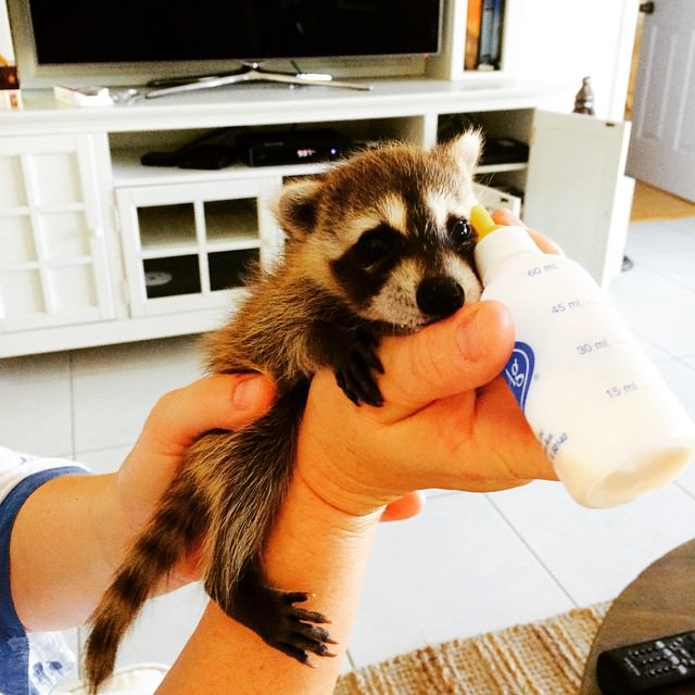 rescued-raccoon-pumpkin-laura-young-45_mini