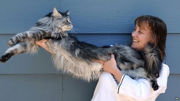 maine-coon-cats-12__605