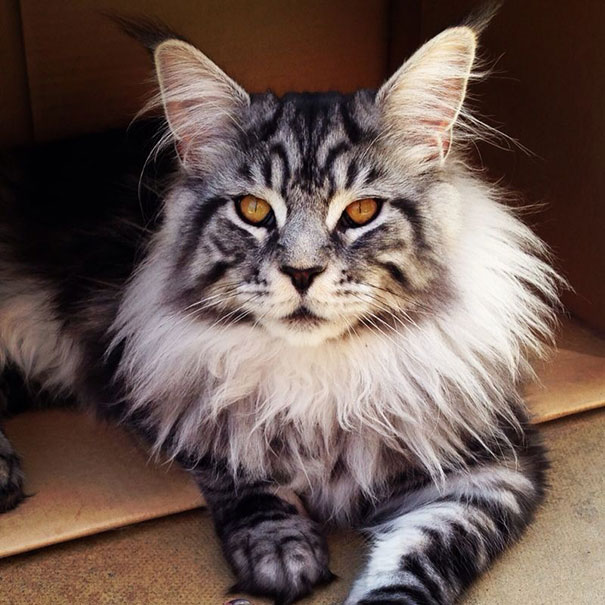 maine-coon-cats-19__605