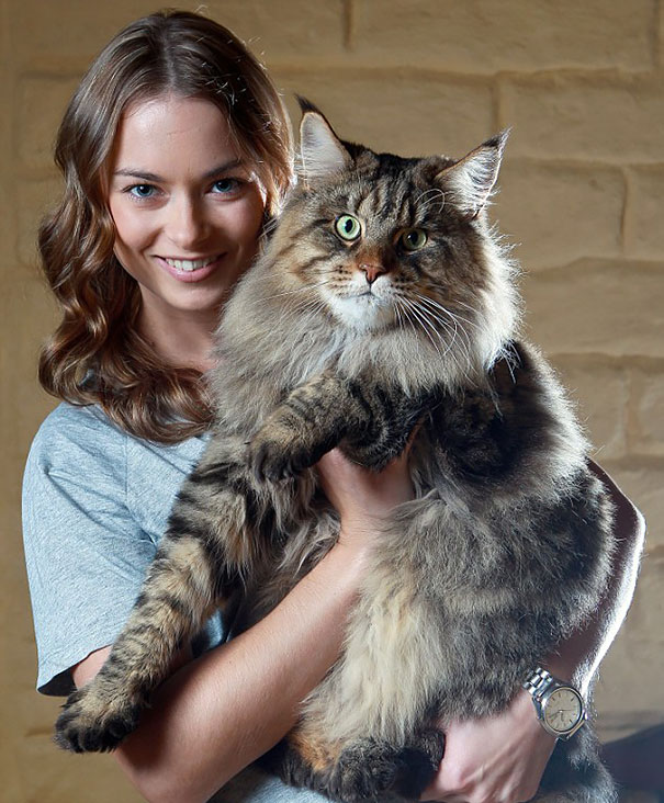 maine-coon-cats-31__605