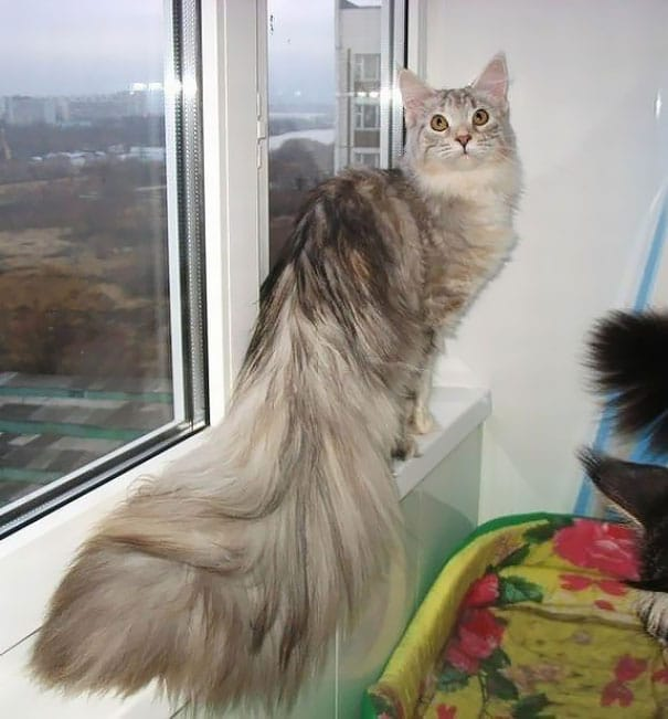 maine-coon-cats-34__605