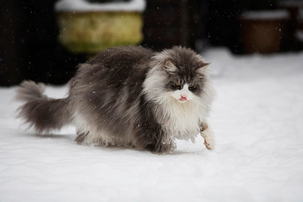 maine-coon-cats-40__605