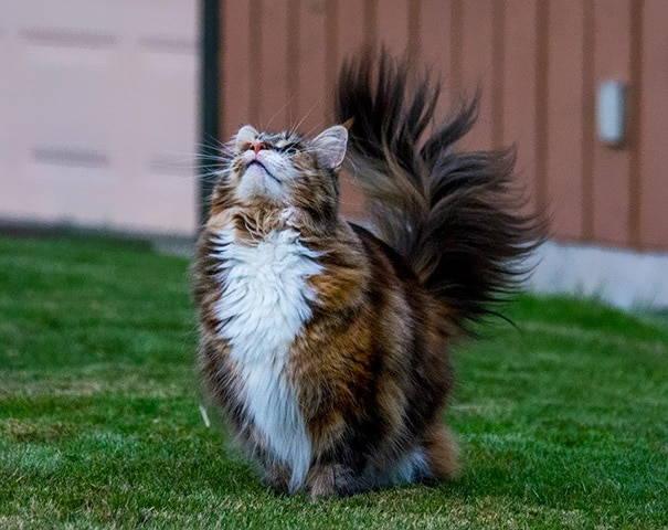 maine-coon-cats-471__605
