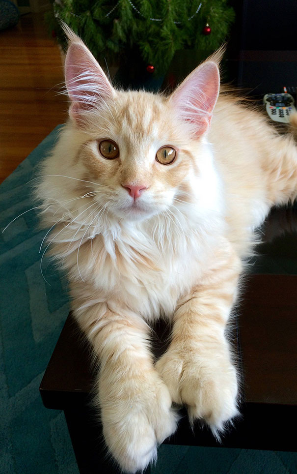 maine-coon-cats-481__605