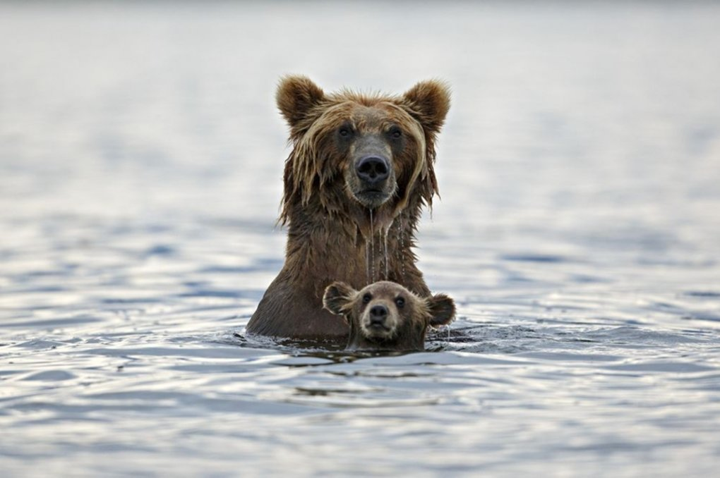 grizzly-bear-in-water-s3500x2328-451196-1020[1]