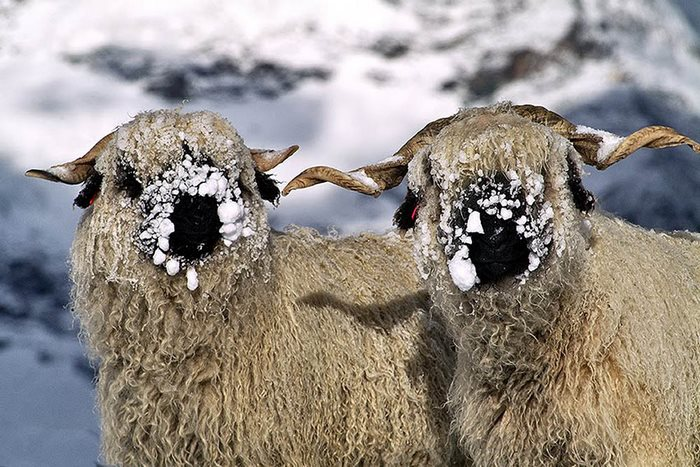 valais-blacknose-sheep-14-5810a86590a9e__700