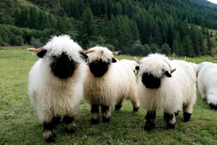 valais-blacknose-sheep-9-5810a858884be__700