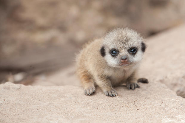 Young meerkat sitting on rock looking at camera