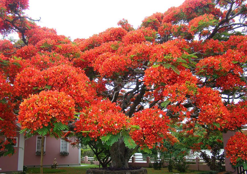 10-Flamboyant-Tree
