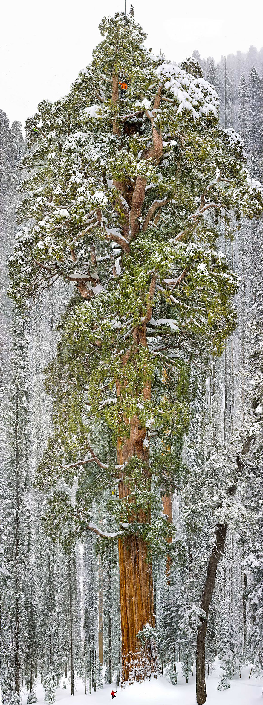 12-Largest-Giant-Sequoia