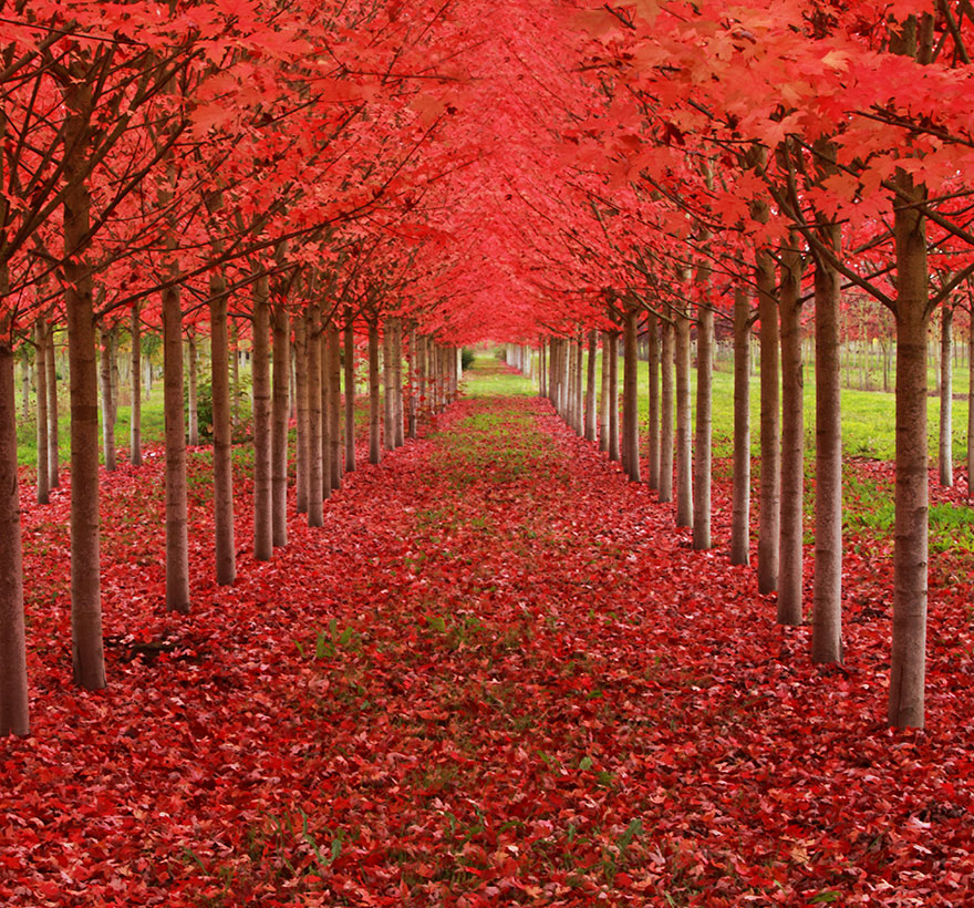 13-Maple-Tree-Tunnel