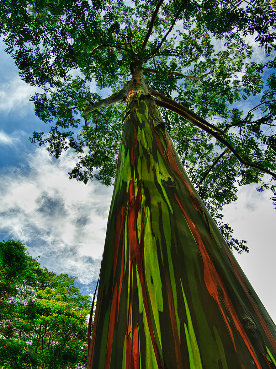 14-Rainbow-Eucalyptus-In-Kauai